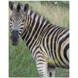 Target Garipani Zebra